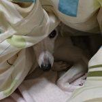 犬の病気 血小板が少なくてお腹に腫瘍のようなものができる